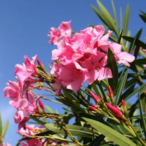 bahamas-flowers