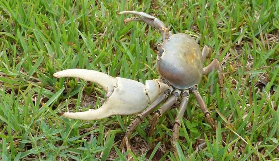 Crab Racing Bahamas